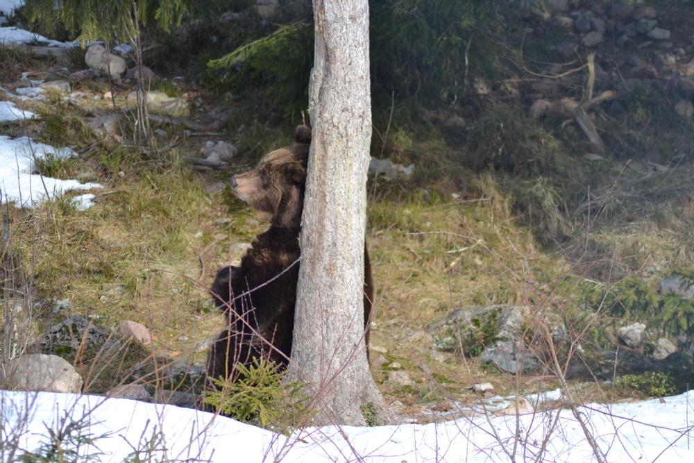 Orsa Rovdjurspark uppmärksammar alla världens björnar på Happy Bears Day 10 maj!