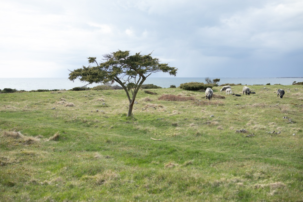 A juniper tree in the meadows by the sea in Torekov