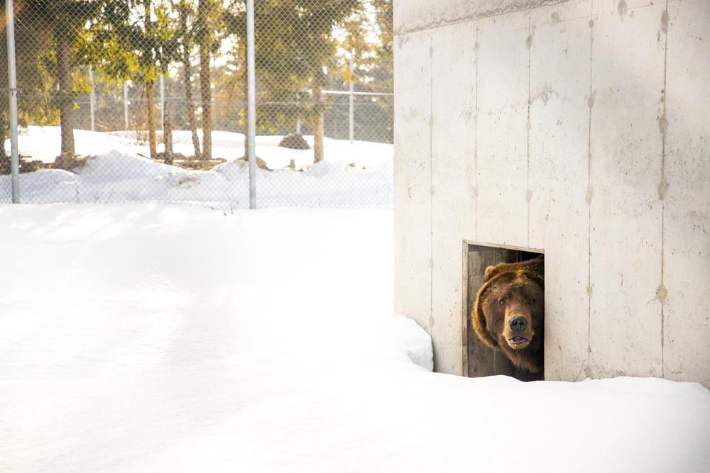 Under onsdagen tittade de första björnarna ut ur idet på Orsa Rovdjurspark.