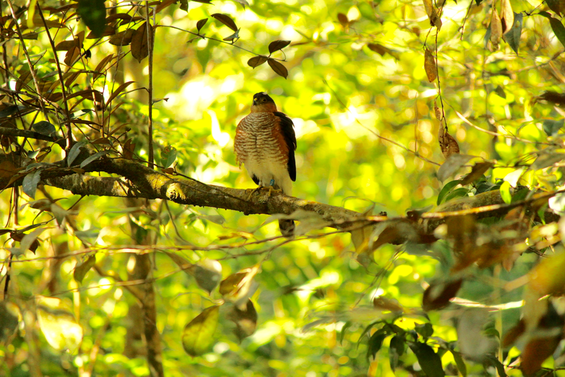 2Z perched calmly near her nest treepng
