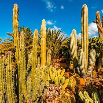 Cactus, Gran Canaria