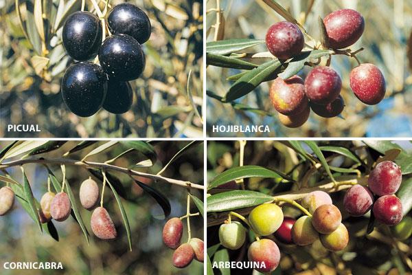 olive-variety