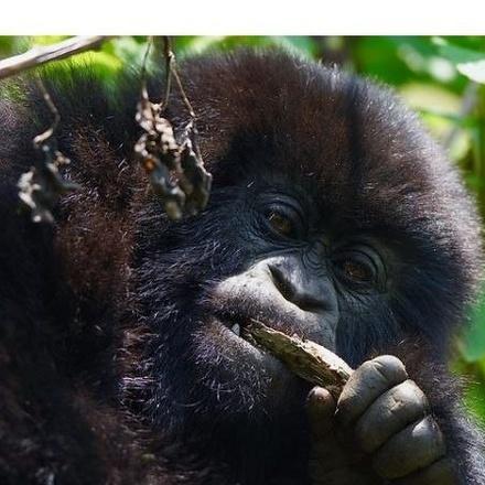 5-Days Mountain Gorillas & Chimpanzees Tracking Adventure - Budget Safari