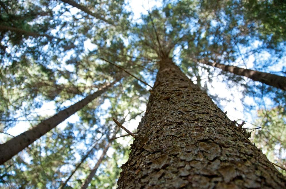 Gran sedd underifrån. Foto: Ulrika Lagerlöf/Skogssällskapet