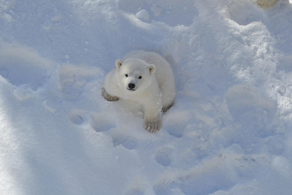 Isbjörnsungen ute i hägnet på äventyr