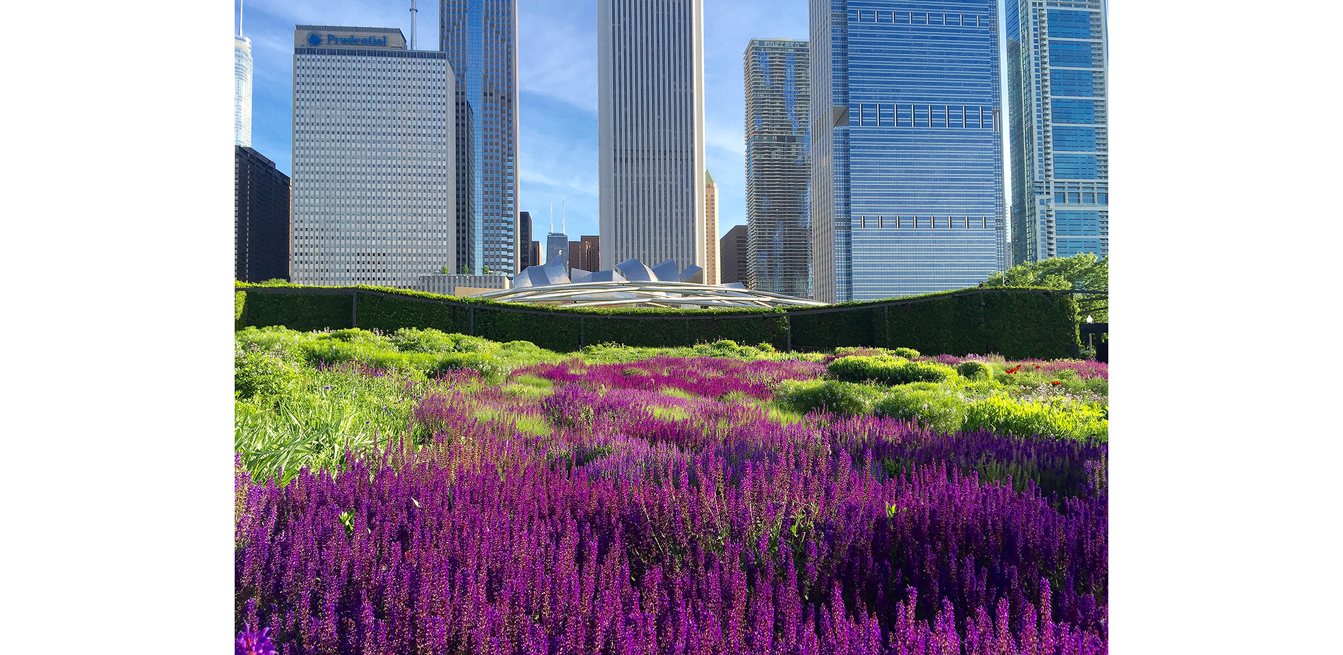 Lurie Garden's Salvia River with Jay Prtizker Pavilion in background