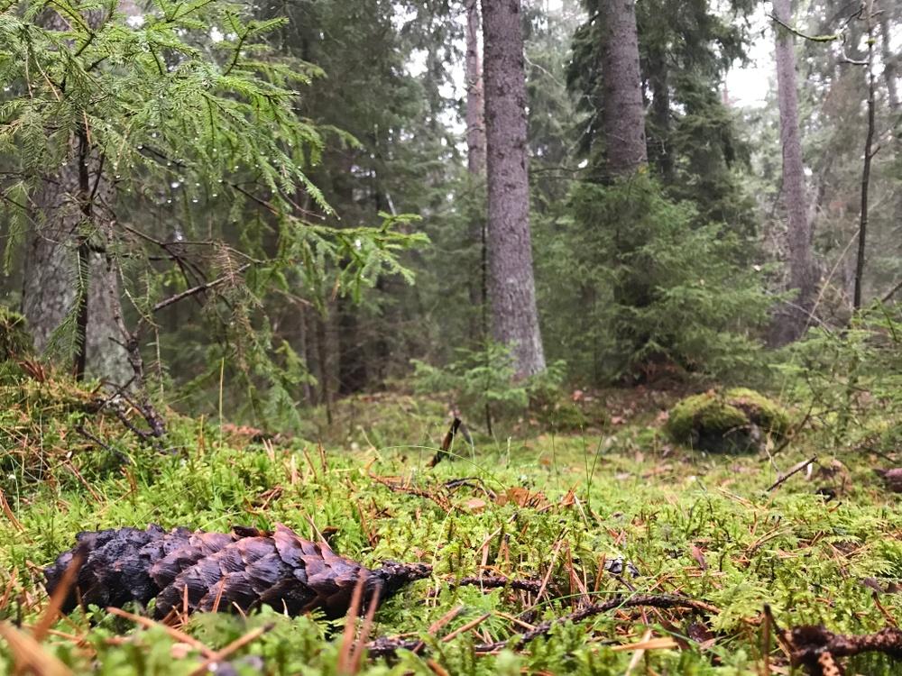 Skogsvy i Uppsala. Foto: Ulrika Lagerlöf/Skogssällskapet