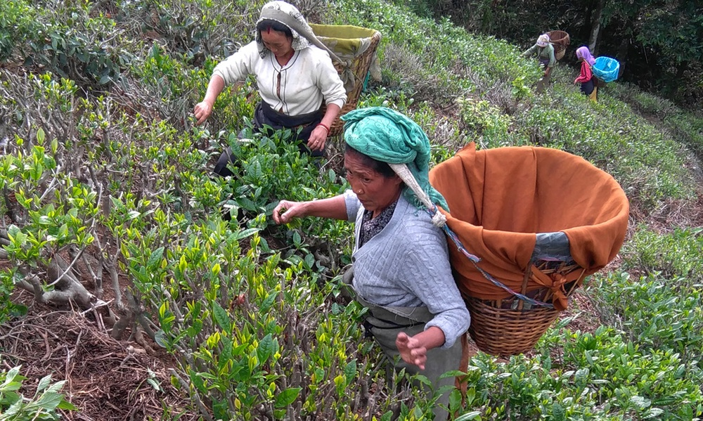 Teplockare i Darjeeling