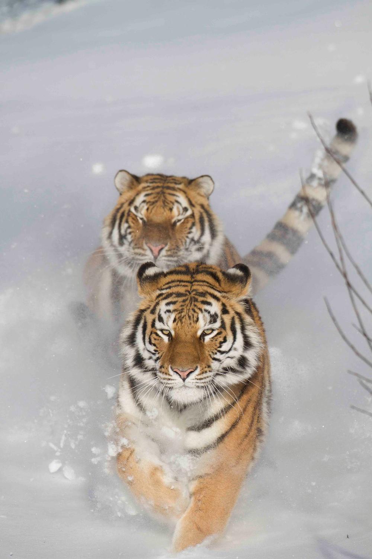 Tigrar som springer i snön