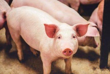 Une initiative avant-gardiste applaudie par les éleveurs de porcs du Centre-du-Québec