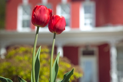 Tulipes devant la résidence Château Belly