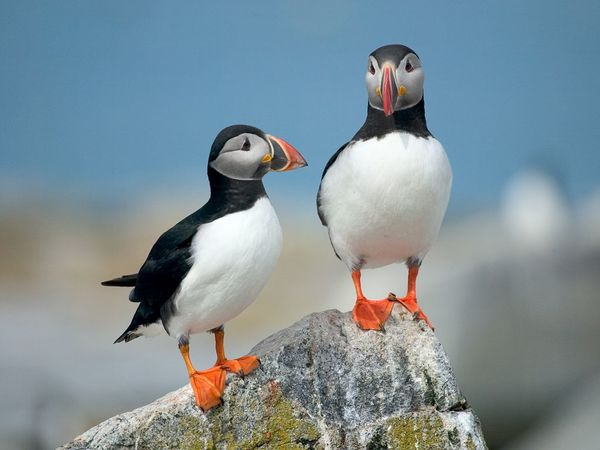 travel to iceland puffins