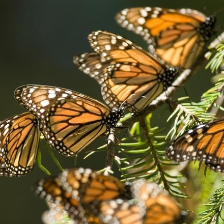 Monarch Butterfly Migration 2022
