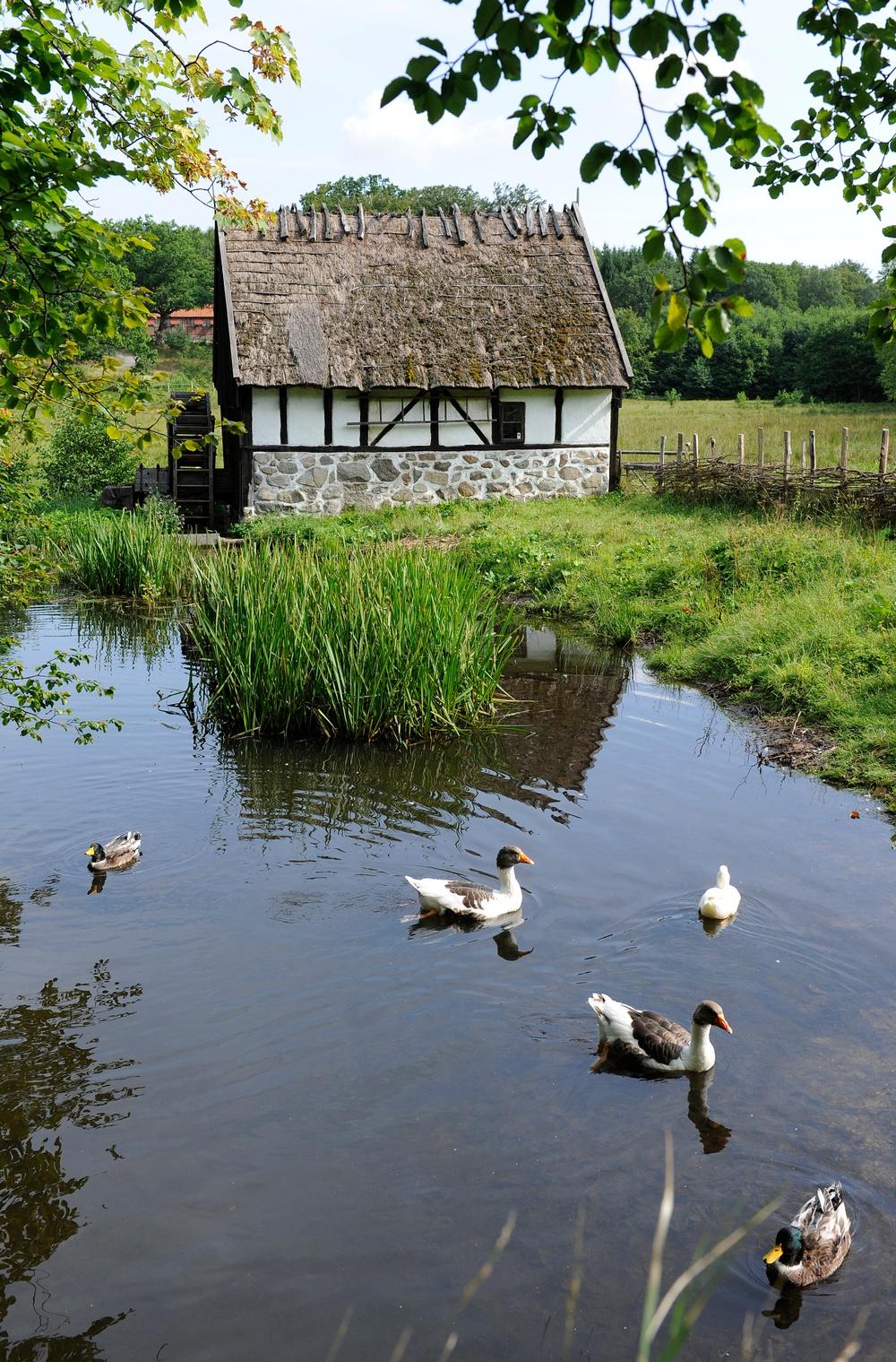 Dammen på Kulturens Östarp med vattenmölla. Under sommarsäsongen bor Skånegäss och Blekingeankor här. Foto: Viveca Ohlsson/Kulturen