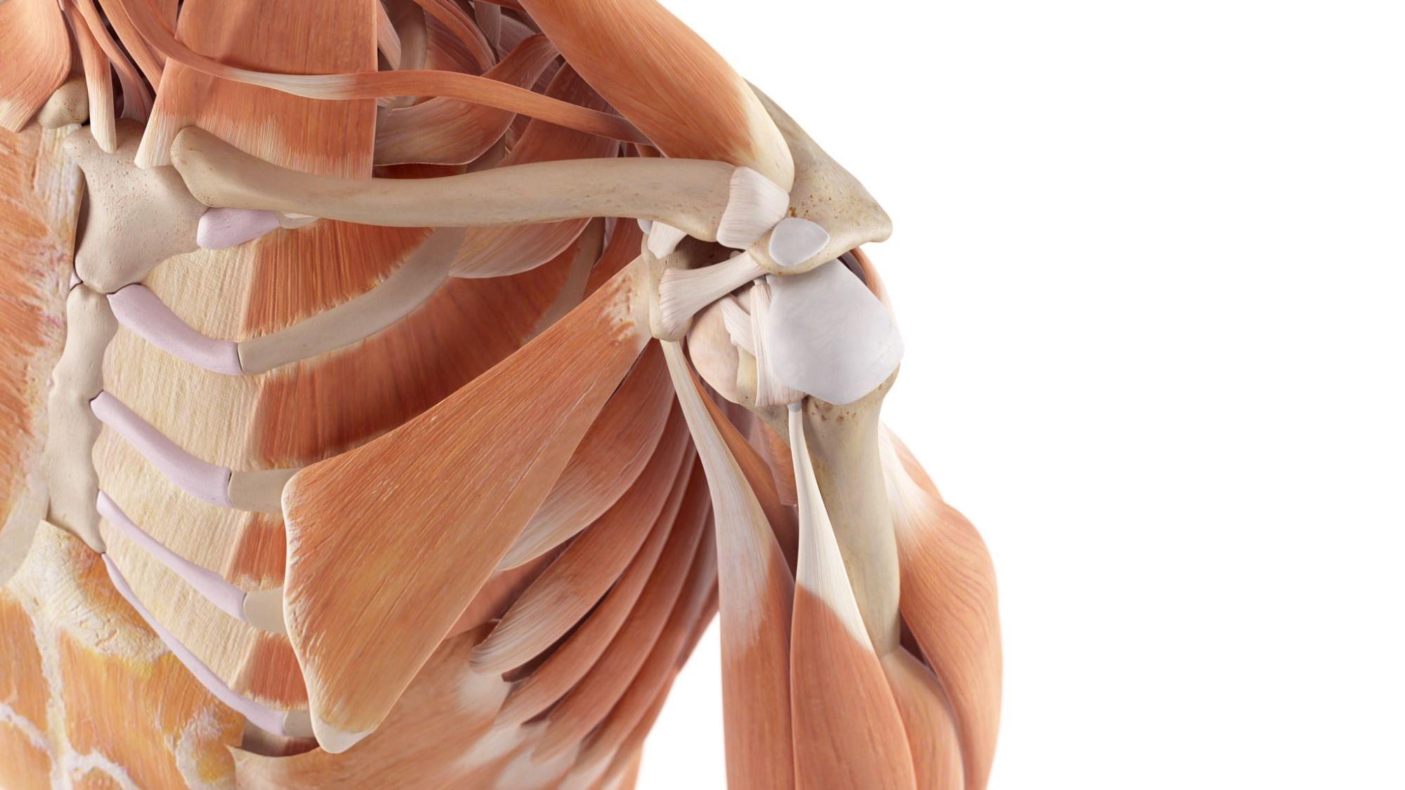 Représentation de la formation : Traiter le complexe neuro-musculaire de l'épaule