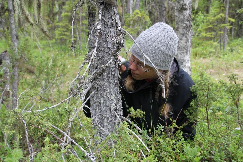 I studien har man tittat på hur förekomsten av mossor och lavar har utvecklats i olika typer av hänsynsytor. Foto: Lena Gustafsson