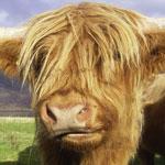 Torridon, Highland Cattle
