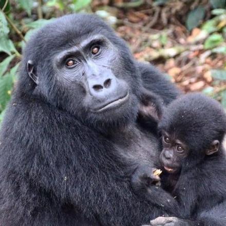 10-Days Mountain Gorillas, Chimpanzees, Zebras & Uganda Wildlife Adventure - Luxury Safari