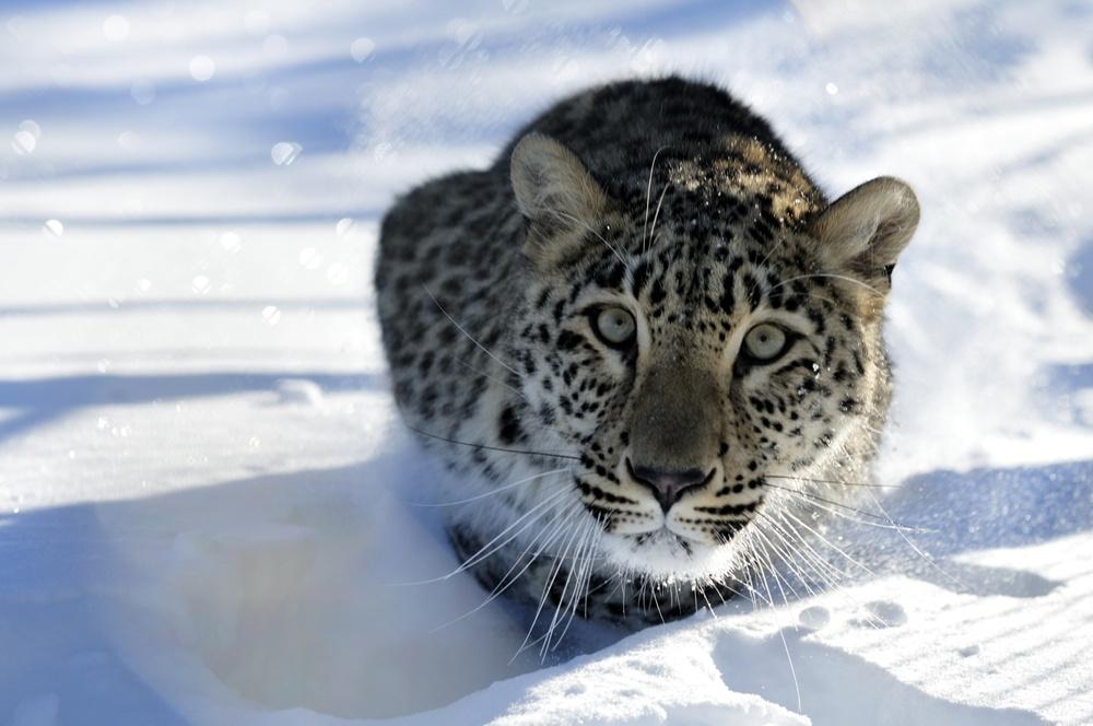 Snöleopard som lurar i snön