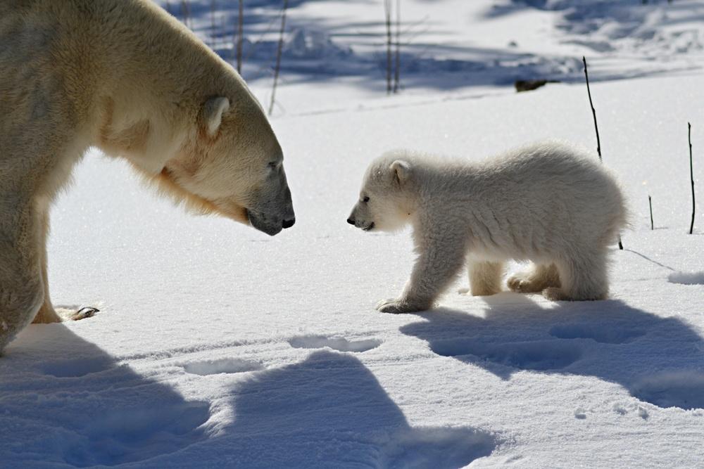 Isbjörnsungen med mamma Ewa i hägnet