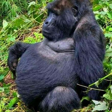 7 Days Uganda Safari, Gorillas, Wildlife and Chimpanzee Trekking
