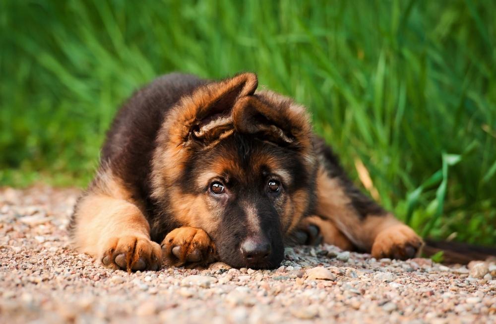 Hundvalp, tysk schäferhund
