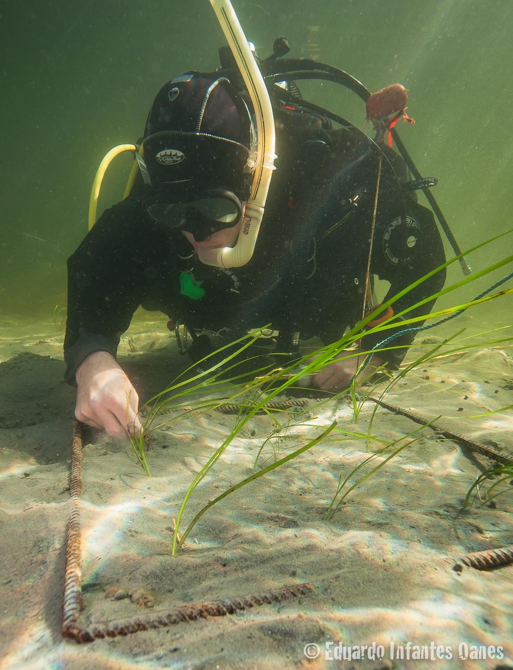 Dykare planterar ålgräs. Foto: Eduardo Infantes. Diver: Per Moksnes