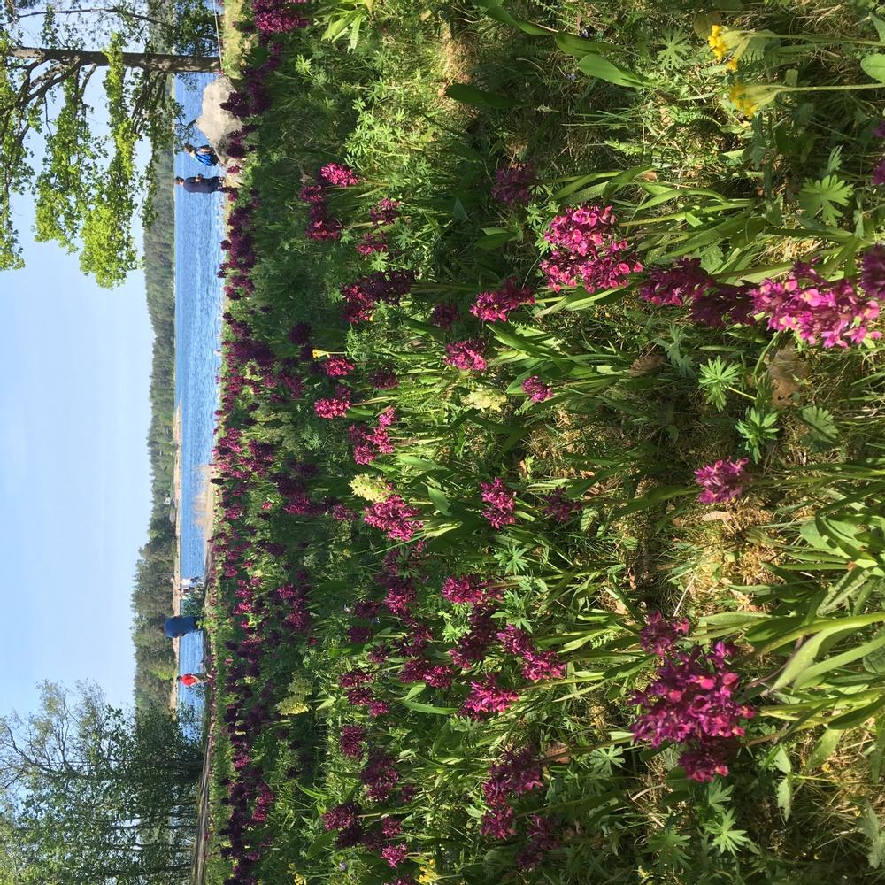 Blommande orkidéer på Ängsö