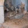 Goats 1, Synagogue, Gafsa, Tunisia, Chrystie Sherman, 7/11/16