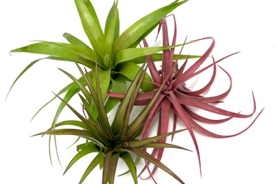 Air Plants Monthly Club Box Photo 2