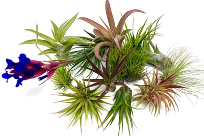 Air Plants Monthly Club Box Photo 3