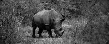 The Grey Rhino(灰色のサイ): COVID-19 とデータ/アナリティクス専門職への影響