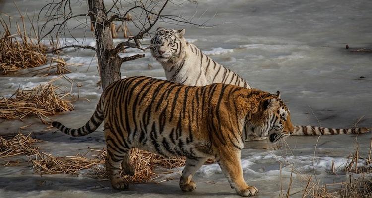 CCPA Copycat Tigers