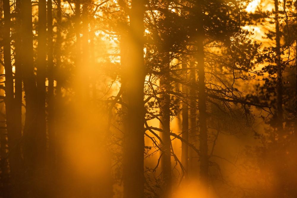 Gryningsdimma i motljus i skogen. Foto: Mostphotos