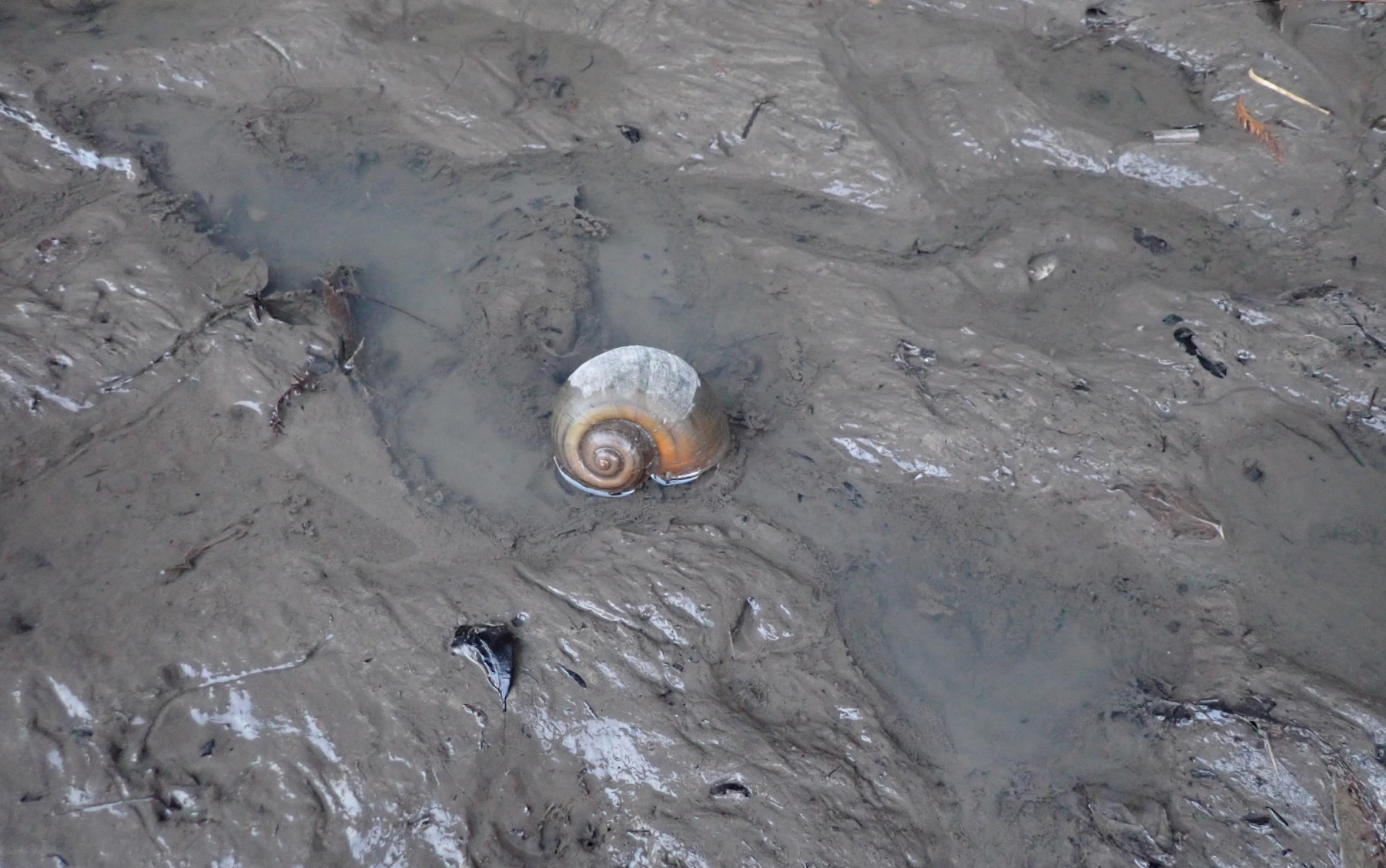 Snail moving across beach or mud.