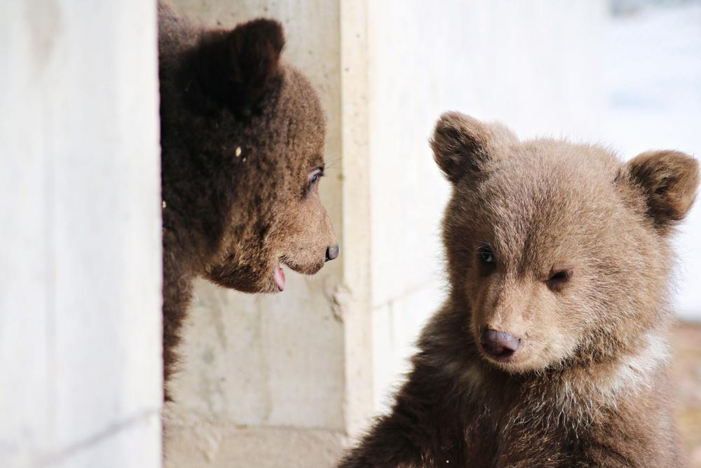Årets brunbjörnsungar tittar ut ur idet.