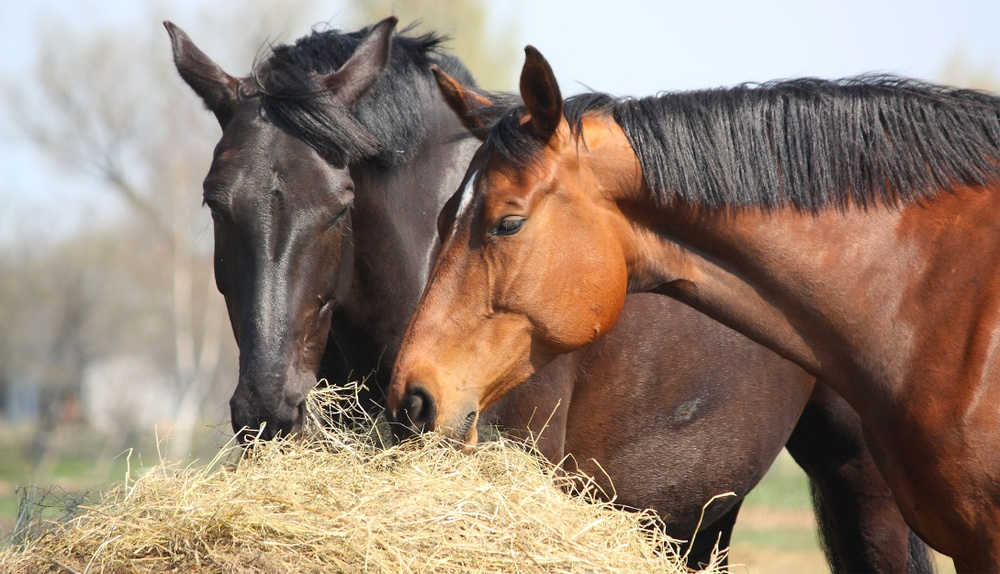 Hästar som äter.