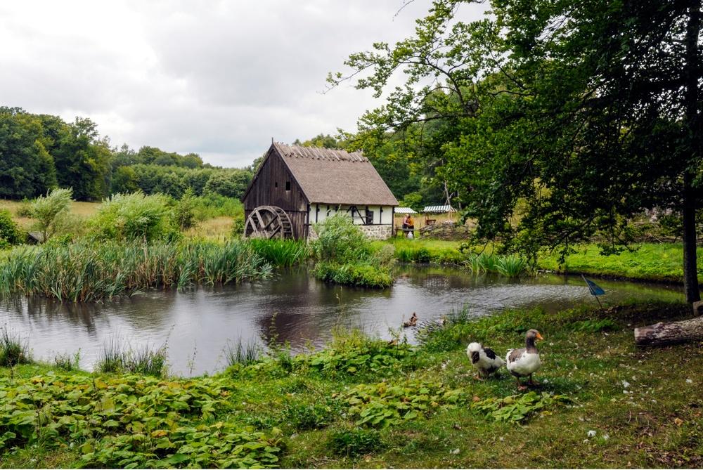 Kring dammen med vattenkvarnen från 1700-talet bor Skånegäss och Blekingeankor. Foto: Viveca Ohlsson/Kulturen
