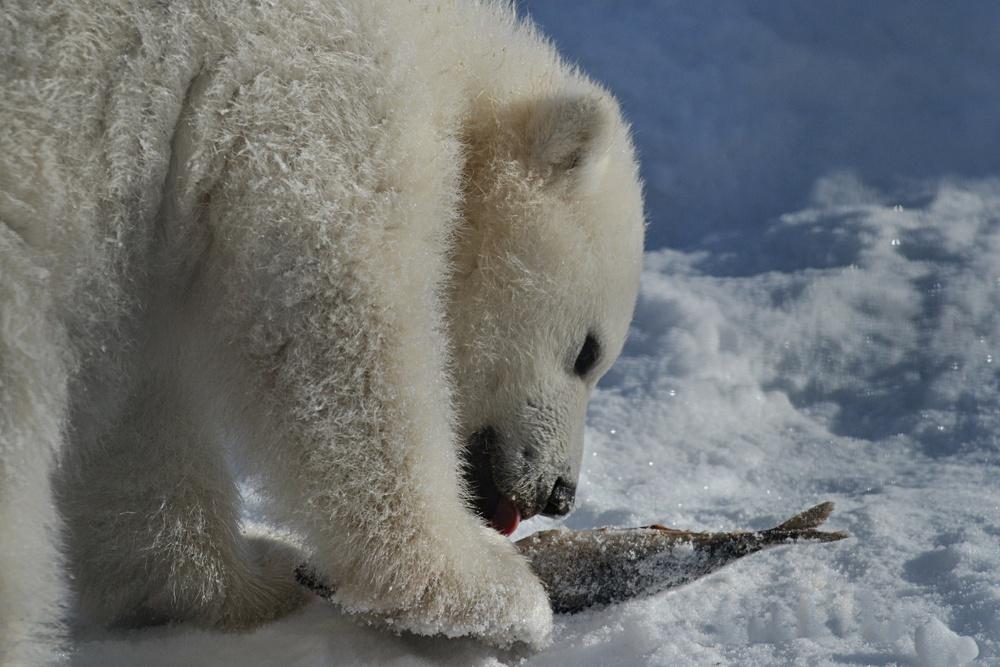 Isbjörnsungen äter fisk