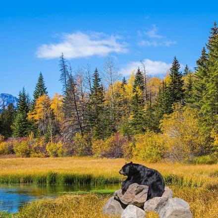 Black bear in the Rockies