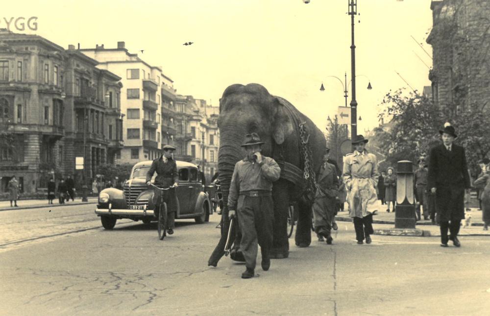 Elefanttränaren Hugo Schmitt med på promenad genom Göteborg. 1940-tal. Originalfotot tillhör Diana Rhodin.