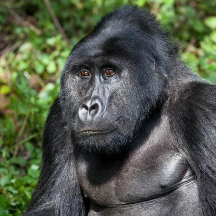 3-Days Mountain Gorillas & Golden Monkeys Tracking Safari - Budget