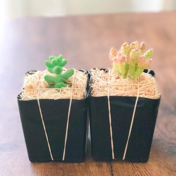 August Succulent Box