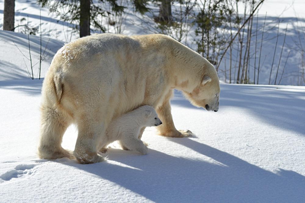 Isbjörnsungen ute på upptäcktsfärd i hägnet med mamma Ewa.