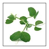 Salad leaf pea shoots