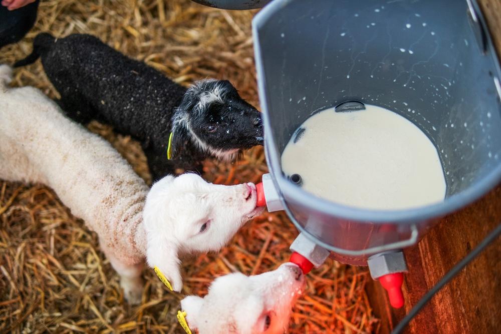 Fanny på JGY Torsta ansvarar till viss del över lamningen på Torsta som en del i sin utbildning på inriktningen lantbruk djur. Lammen dricker mjölk från korna ur en napphink som Fanny monterat.  Bilden får endast användas i samband med publicering av reportaget om Fanny. Foto: Robert Henriksson / Torsta