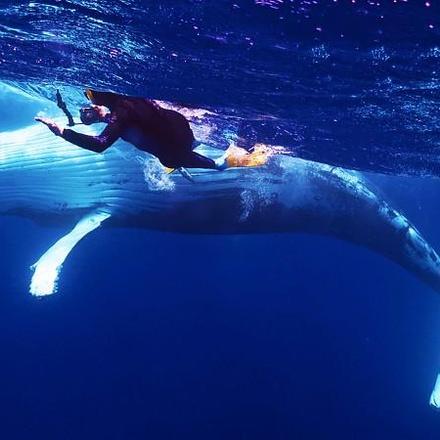 Curious Humpback whale, Tonga