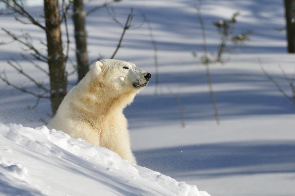 Isbjörn på Orsa Rovdjurspark
