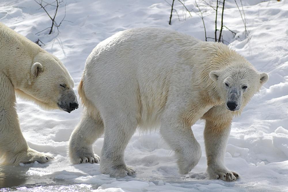 Isbjörnarna Ewa och Wilbär.