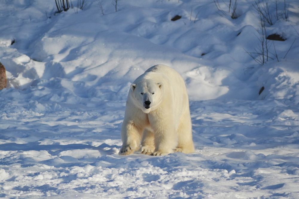 The polar bear Wilbär, which is now a father of a newborn cub.